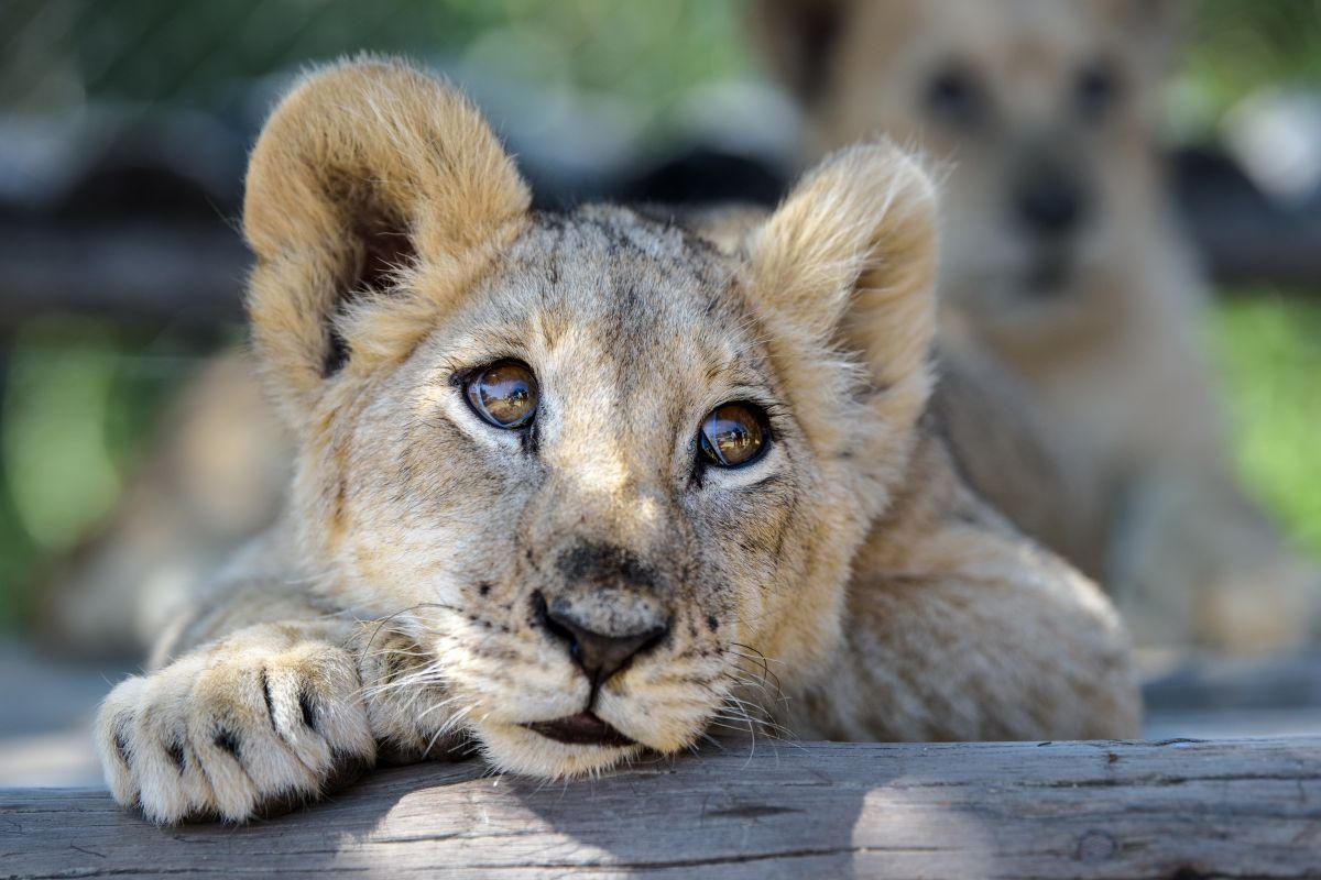Causa conmoción el caso del león al que le fracturaron las patas para poder ser fotografiado con turistas