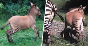 Imágenes de un animal cruce de una cebra y un burro, ¡te encantarán