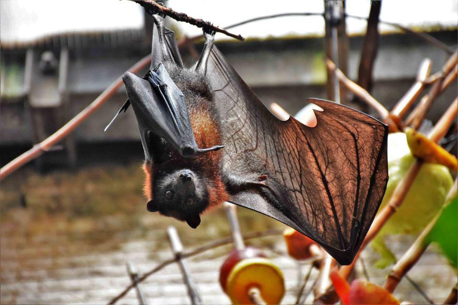 """La foto de un murciélago """"del tamaño de una persona"""" que se ha hecho viral en redes sociales"""
