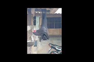 La FOTO de un murciélago gigante en Filipinas que se hizo viral