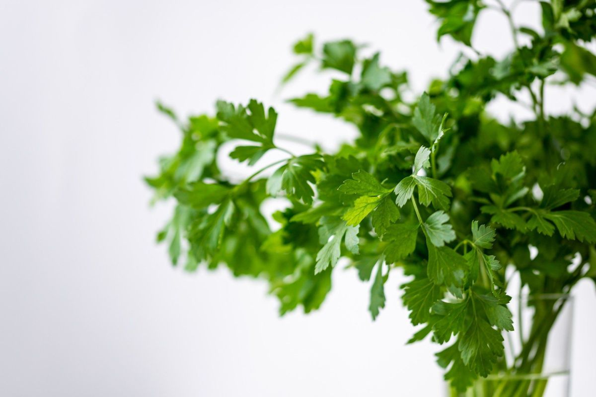 What benefits does coriander provide and why we must take precautions before its consumption