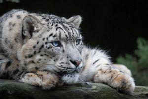Cachorro de leopardo escapa del zoo en Carolina del Sur
