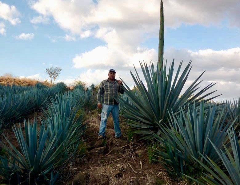 Pandemia dispara venta mundial de tequila, ¿ganancia para los agricultores del agave?