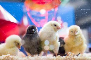 Por qué miles de pollos están muriendo después de ser enviados por el Servicio Postal de Estados Unidos