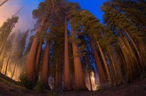 La famosa resistencia de las sequoias que les permitió de nuevo sobrevivir a los incendios