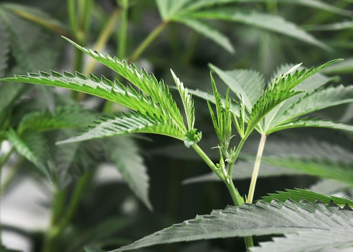 Votantes de Nueva Jersey aprueban legalizar marihuana