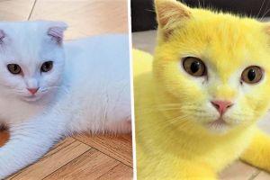 Gato se volvió amarillo por un extraño tratamiento, ¡las fotos te sorprenderán!