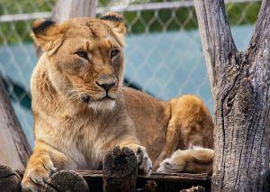 Reina de la selva: Leona roba un impala a 5 guepardos
