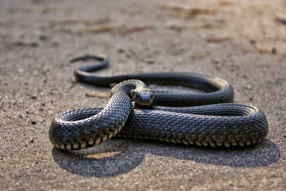 Sorprende serpiente de 2 cabezas encontrada en la India