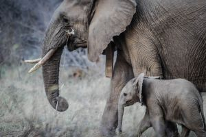 Más de 140 elefantes han nacido en Kenia desde que inició la pandemia