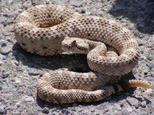Calabasas advierte que tengan cuidado con las serpientes de cascabel en el fin de semana feriado