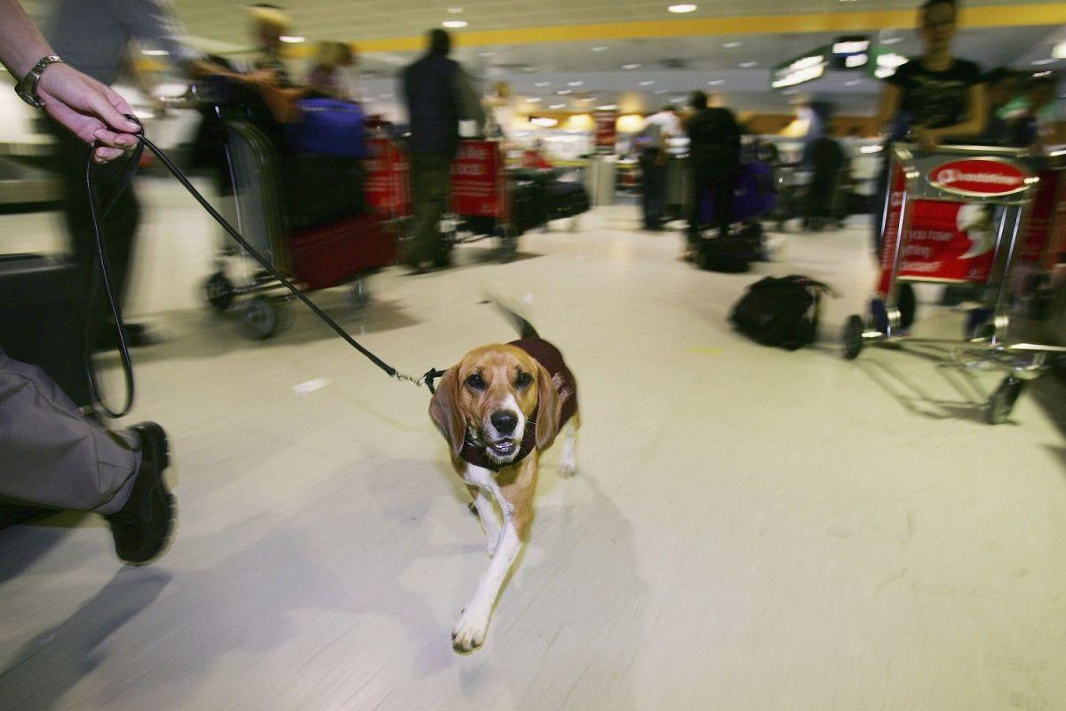 Los perros ya son utilizados en los aeropuertos para detectar productos agrícolas y drogas.
