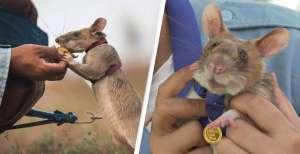 Dan medalla de oro a pequeña rata por detectar minas antipersona