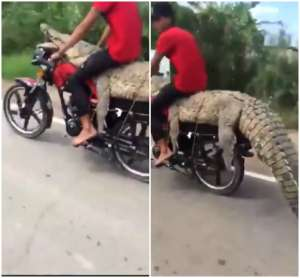 Jóvenes atrapan caimán en pantano de México, lo montan en motocicleta y lo presumen en video por redes