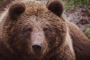 VIDEO: Un gran oso decidió hacer correr a los turistas del Parque Nacional Glacier de Montana