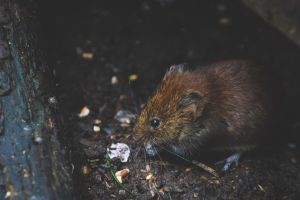 """El impactante hallazgo de una """"rata gigante"""" en el drenaje de la CDMX"""