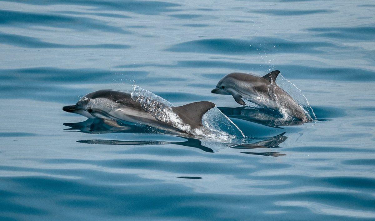 Muere delfín al tratar de salvar a su cría de un derrame de petróleo