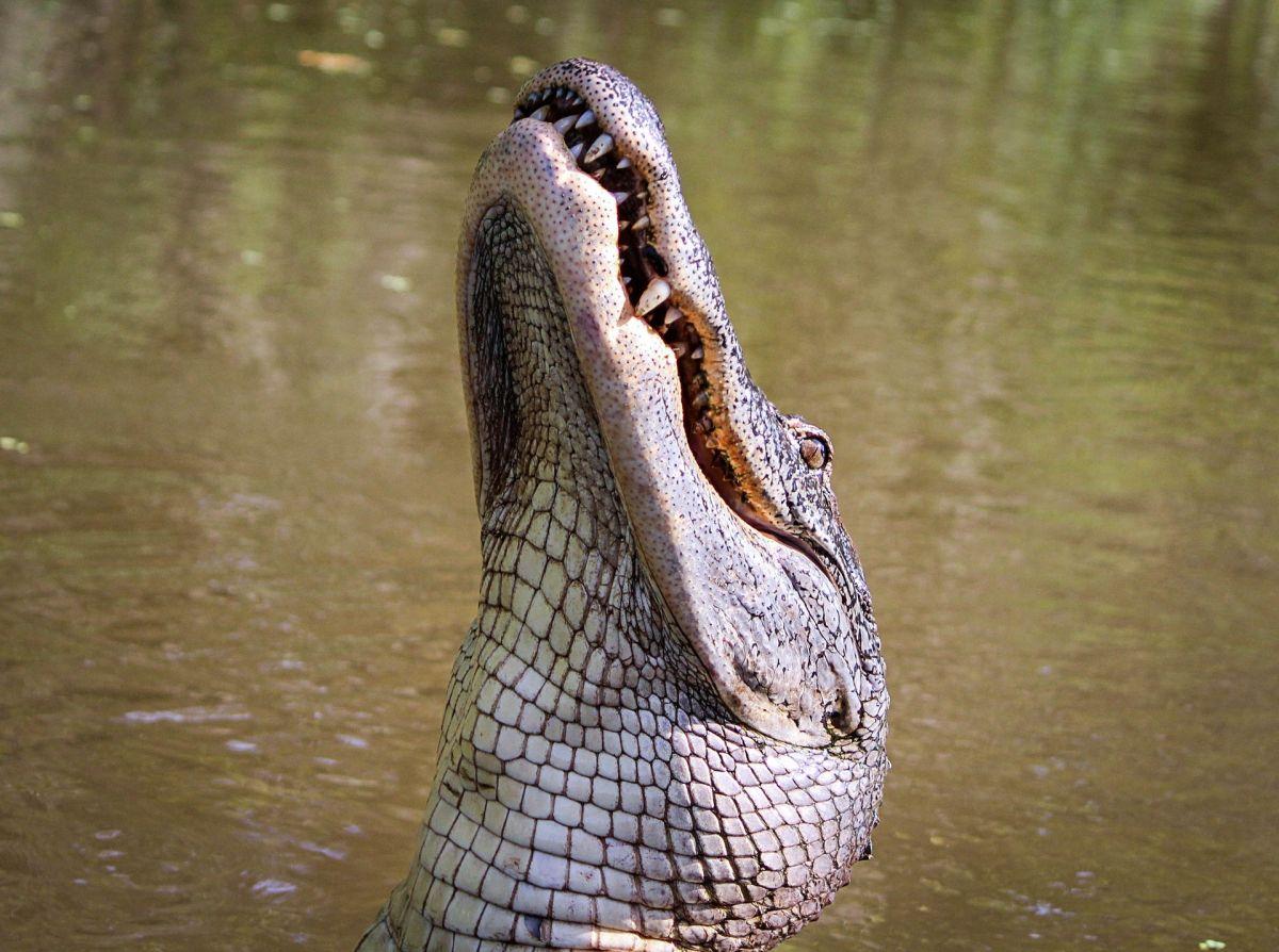 Pelea entre caimán y tortuga se vuelve viral por tan impredecible final