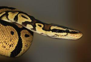 Una serpiente pitón muerde en el pene a adolescente mientras se encontraba en el baño