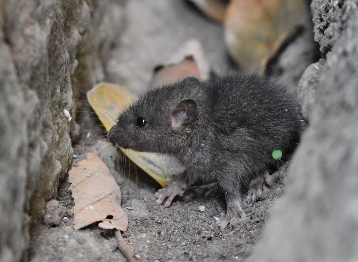Millones de ratas podrían haber muerto tras paso de tormenta Ida