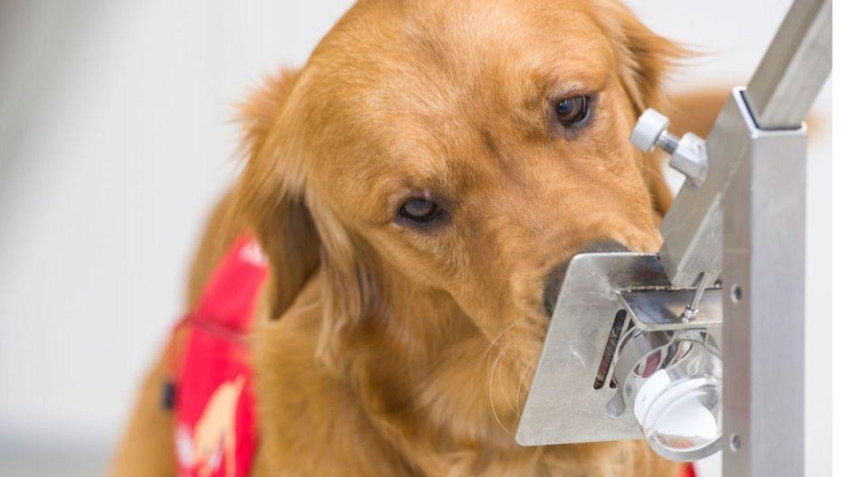 Cómo puede un perro detectar si tienes coronavirus