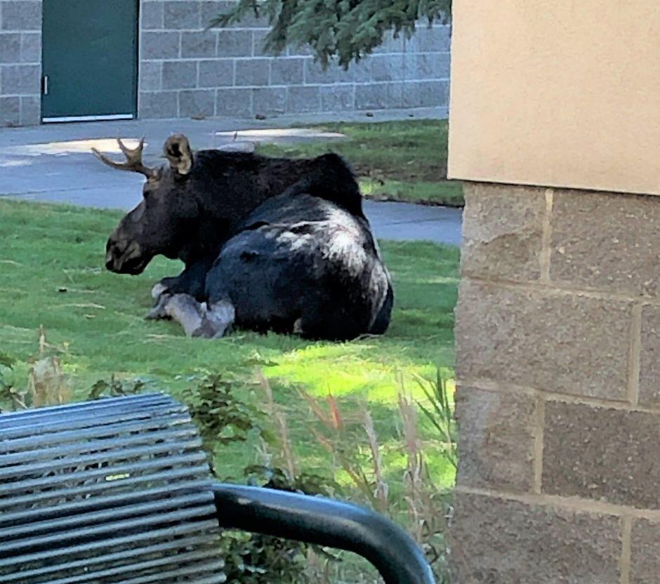 Alce visita escuela en Idaho en medio de las clases