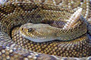 Serpiente pitón capturada en Florida puede romper el récord del estado
