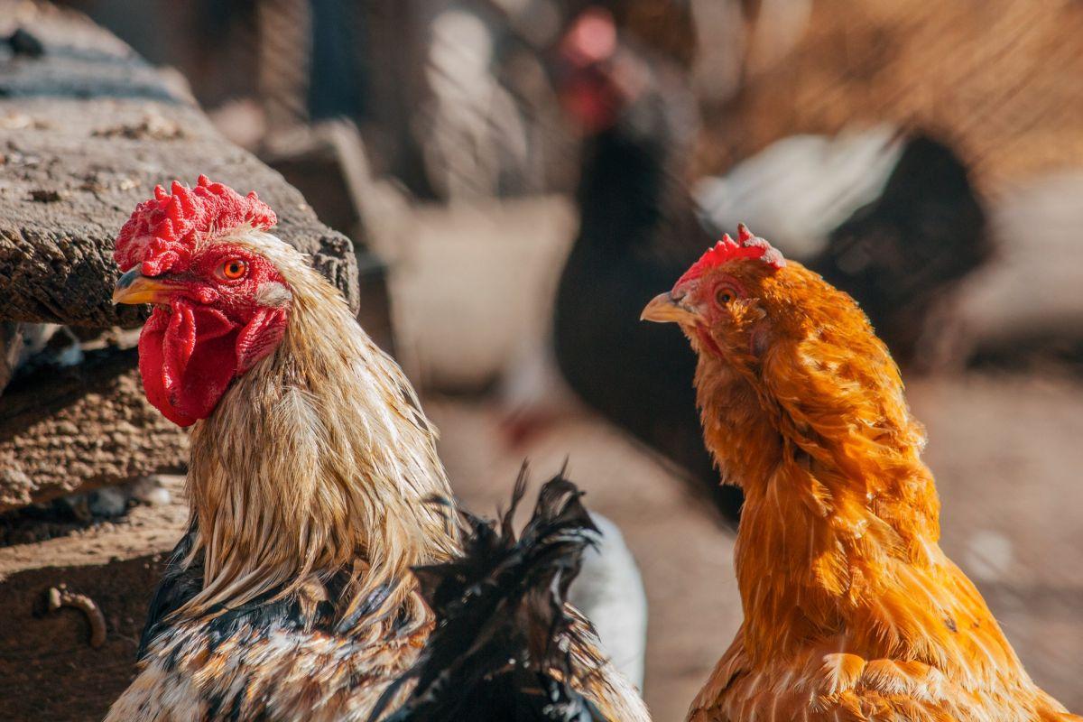 Hombre es sentenciado a 3 años en prisión por tener sexo con gallinas