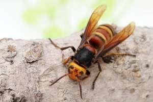 """Destruyen el primer nido de """"avispones asesinos"""" encontrado en Estados Unidos"""