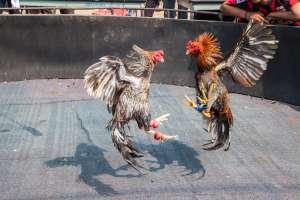 Muere policía en Filipinas tras ser atacado por gallo de pelea