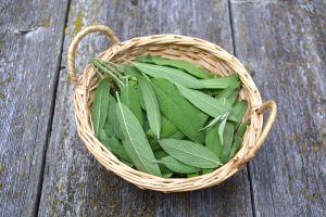 15 propiedades medicinales de la salvia