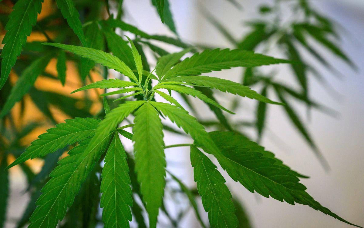 6 estados aprueban el uso recreativo y medicinal de la marihuana