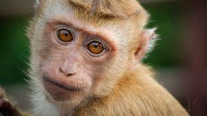 Target deja de vender leche de coco Chaokoh por explotación de monos