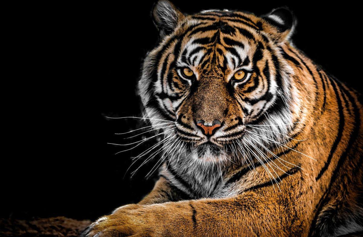 Fotógrafo logra captar a uno de los 8 tigres negros que viven en el planeta
