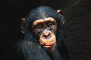 El sorprendente video de un chimpancé barriendo su jaula en el zoo