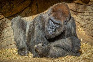 Dos gorilas de zoológico de California serían los primeros primates en el mundo en contagiarse con coronavirus