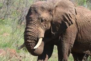 Elefante mata a anciano a pisotones en Tailandia