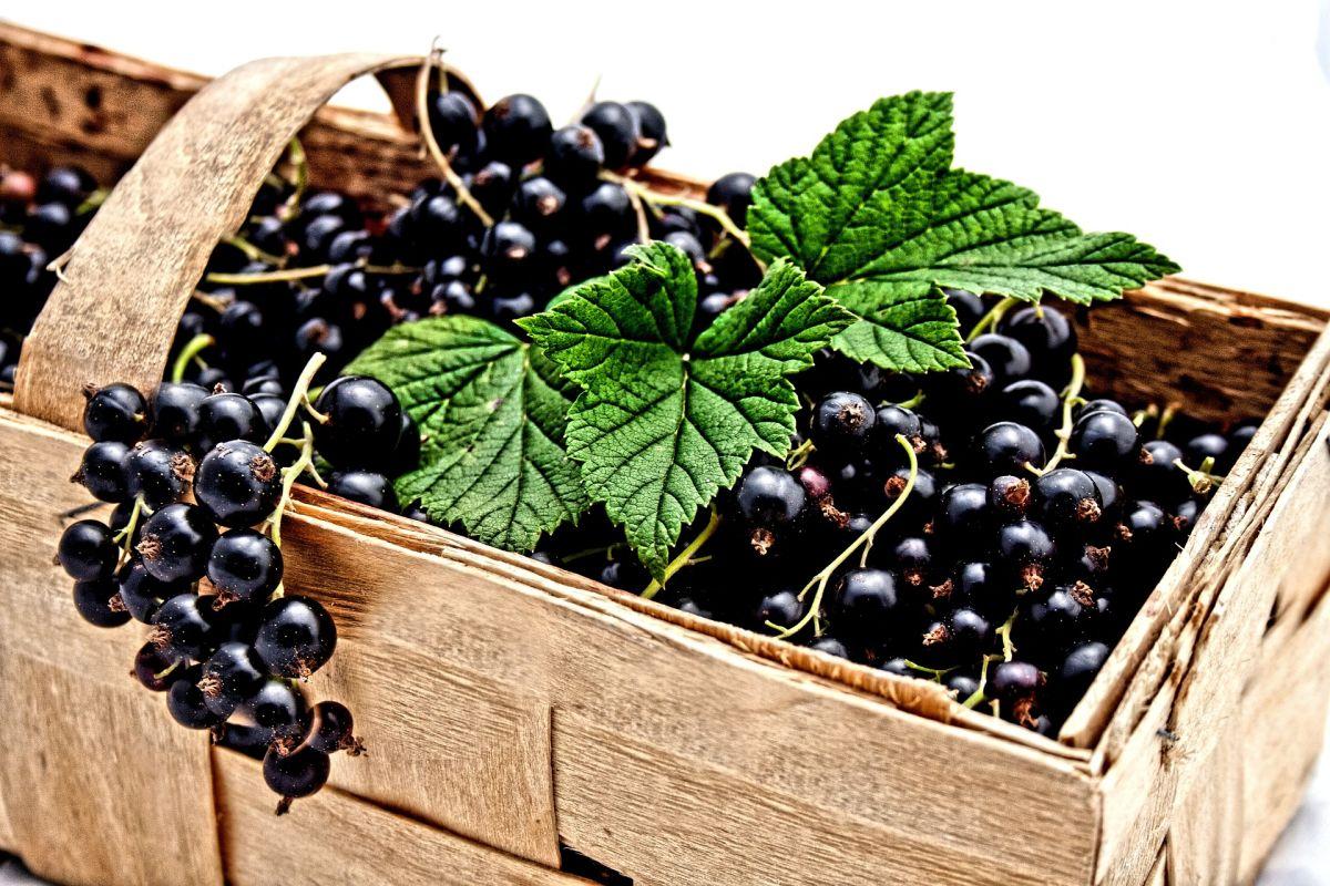 Una porción de grosellas negras después de las comidas puede ayudarte a controlar la glucosa y prevenir la diabetes
