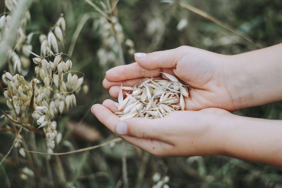 Los granos de avena son la opción menos procesada y que más nos permite obtener la larga lista de beneficios de la avena.