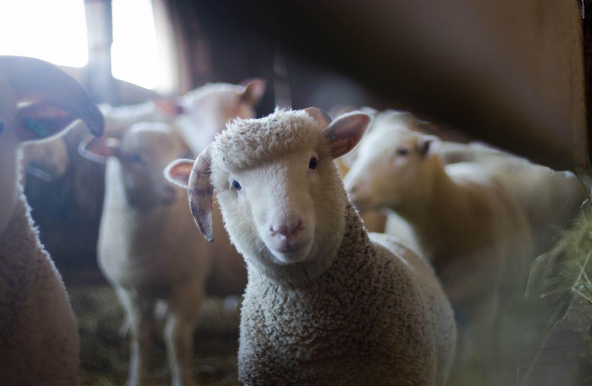 La increíble historia de la oveja a la que le salvaron la vida al quitarle más de 35 kilos de lana