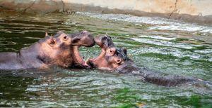 """¿Por qué los hipopótamos de Pablo Escobar se han convertido en una """"gran amenaza"""" para Colombia?"""
