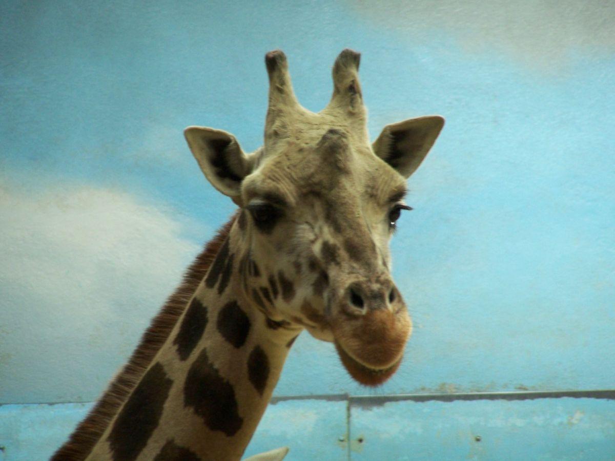"""Murió sacrificada en Nueva York """"Abril"""", la jirafa más famosa del mundo; padecía artritis"""