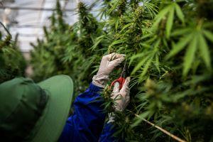 Cuomo y la Legislatura acuerdan legalizar la marihuana recreacional en el estado de Nueva York