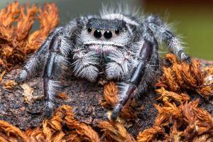 El impactante video de una araña llevando a cuesta a todas sus crías