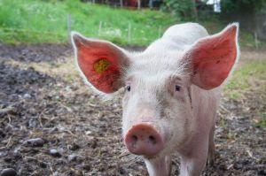 Pigasso: el cerdo pintor que ha recaudado más de $70,000 con sus cuadros