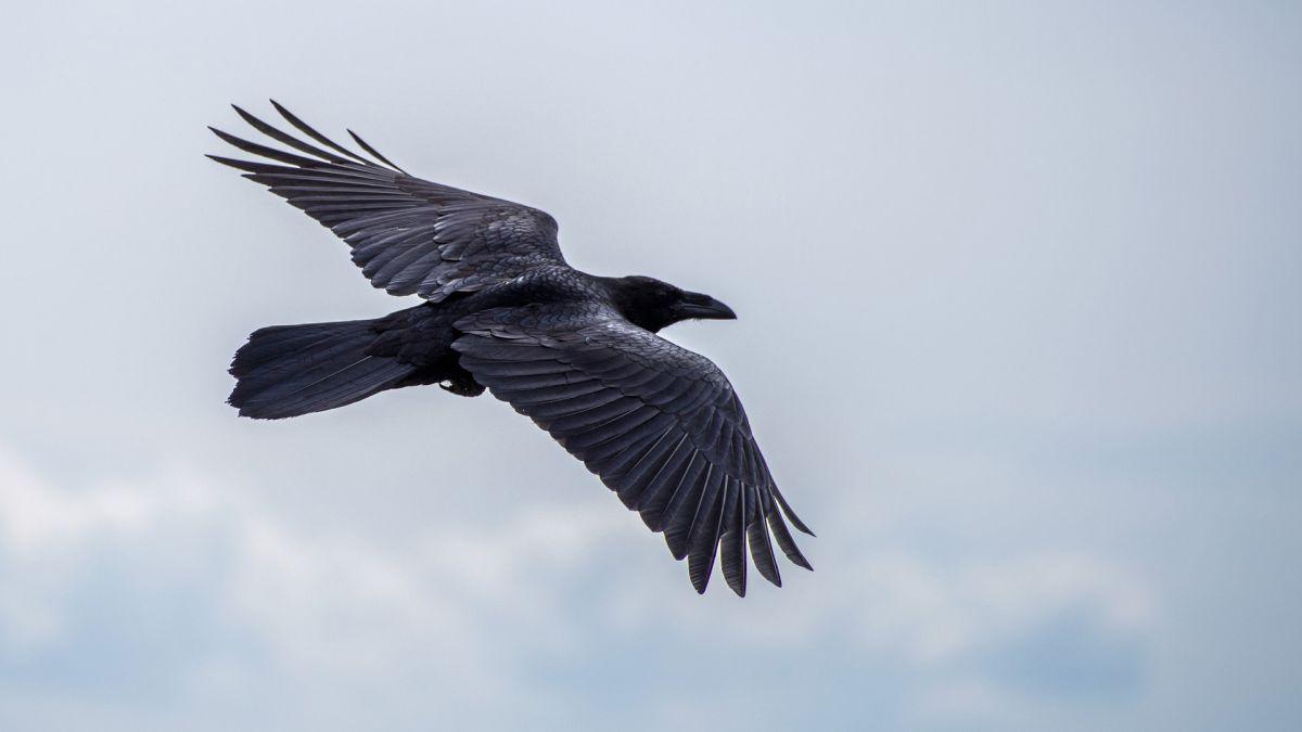 Pájaros hambrientos roban compras a clientes de Costco en Alaska