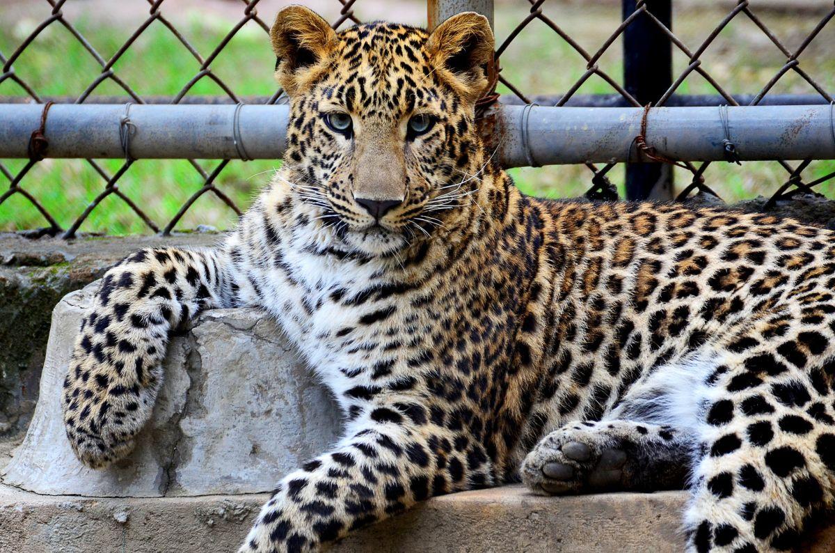 Hombre asfixia a leopardo hasta matarlo luego de que intentara atacar a su familia