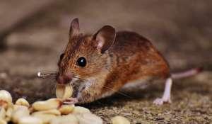 Captan ratones recién nacidos entre verduras de un supermercado mexicano