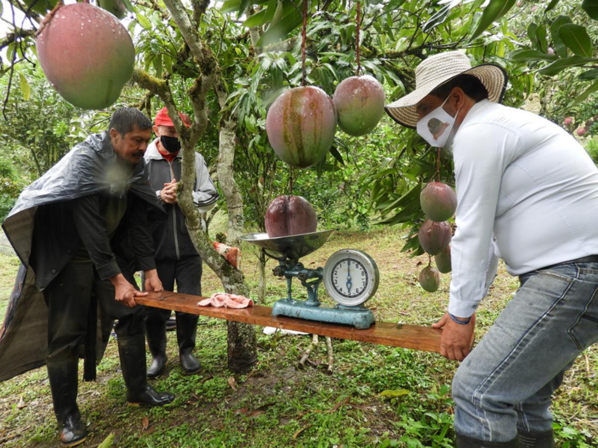 Encuentran en Colombia el mango más grande y pesado de todo el mundo