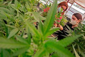 Norteamérica se podría convertir en la región más grande del mundo para el mercado de la marihuana